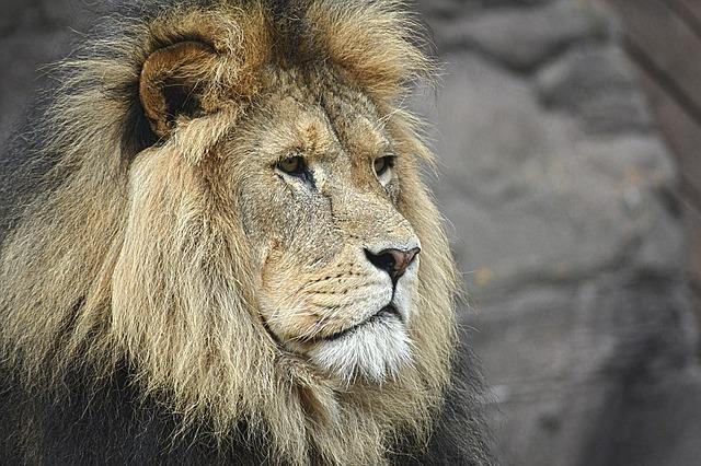 遠くを見つめるライオン