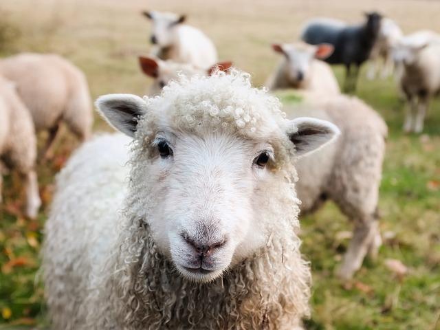 真正面から見た羊
