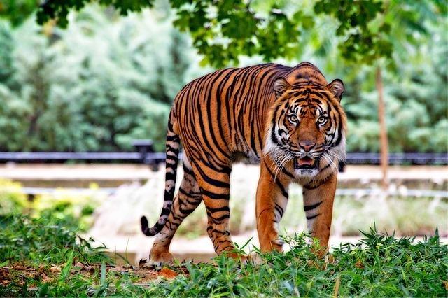 こちらをにらみつける虎