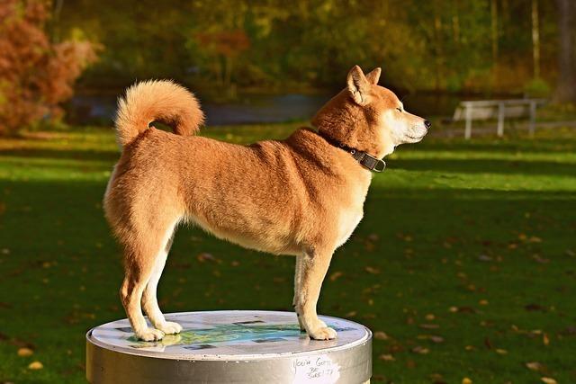 横向きの柴犬