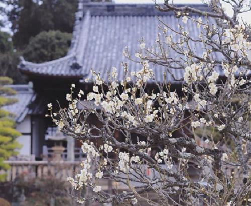 お寺と梅の花