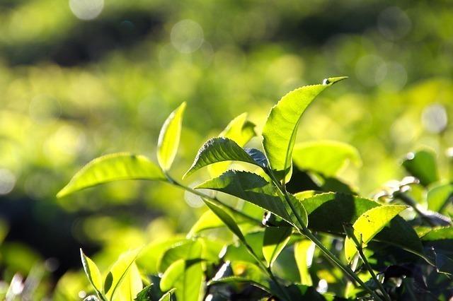 青々としているお茶の芽