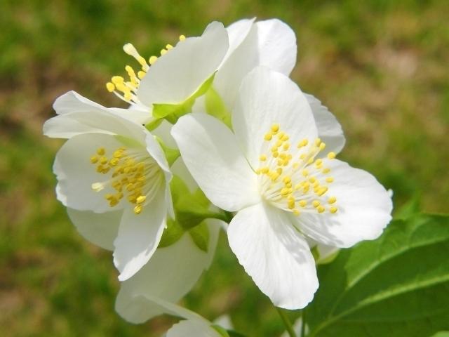 写真AC「卯の花」