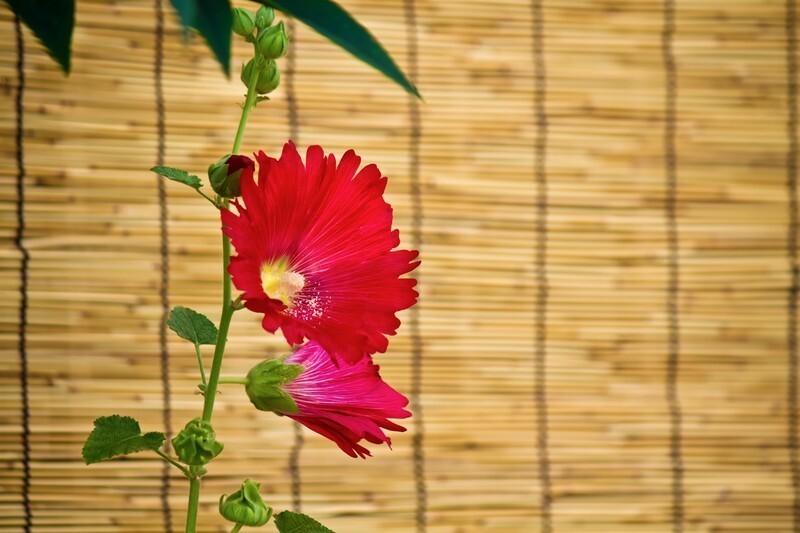簾の前に赤い花が咲いている