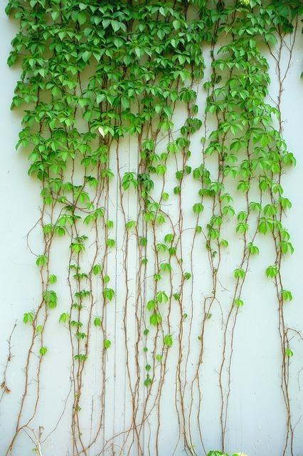 壁に這う植物の蔓