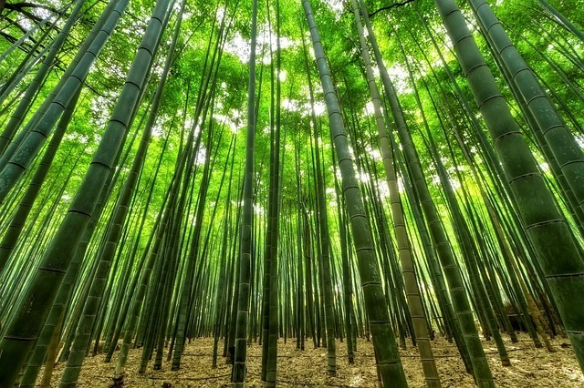 まっすぐと高く伸びた竹林が広がっている画像