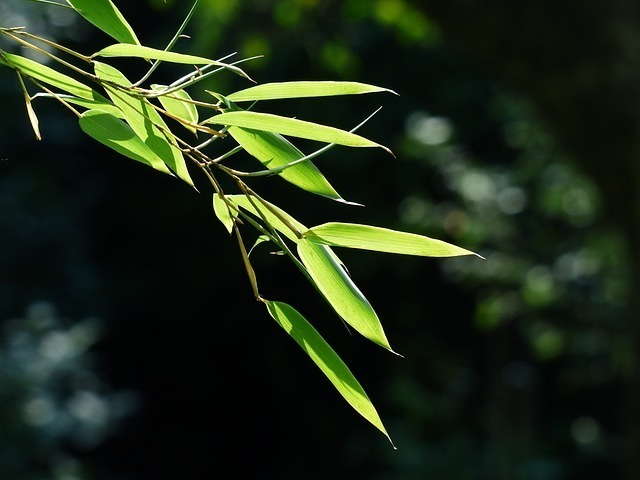 火の光を受けて葉脈が透けている笹の葉