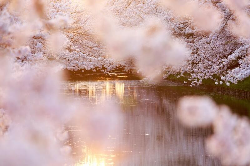 川辺の桜と花筏