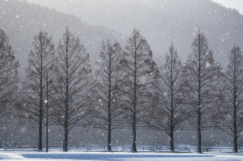 雪が降る並木道と杉の木