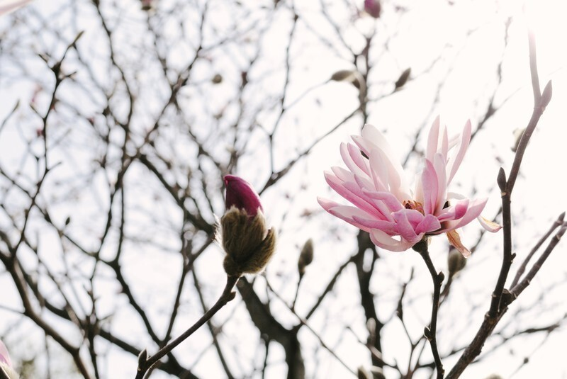 寒空の下に咲くこぶしの花々