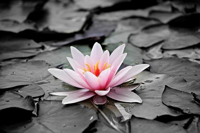 ピンク色の蓮の花と、白黒の葉