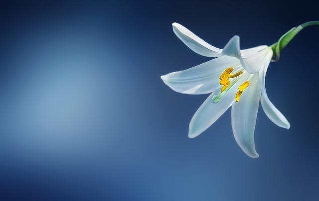 一輪のユリの花
