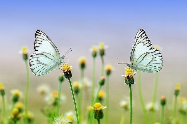 2匹の蝶々が咲き始めの花に止まる