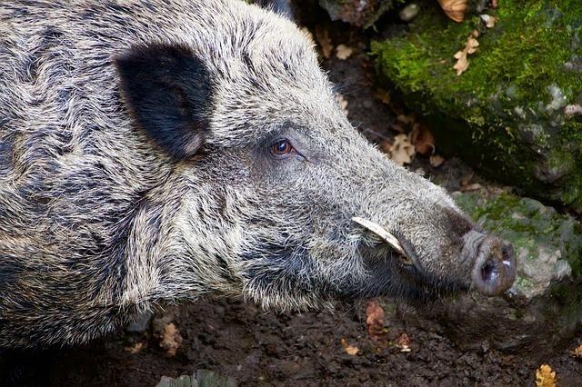 エサを探す猪