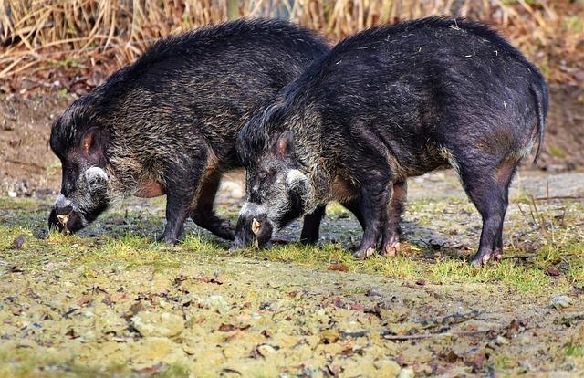 土をほじくり返す猪