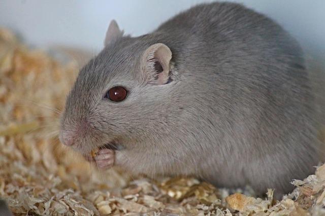 エサを食べるネズミ