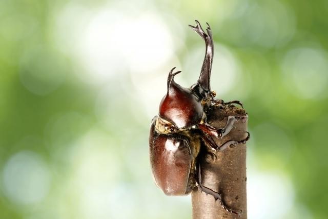 木の枝にとまっているカブトムシ