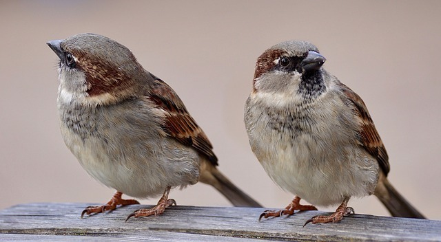 そっぽを向く二匹の雀