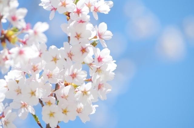 春に咲く桜の花々