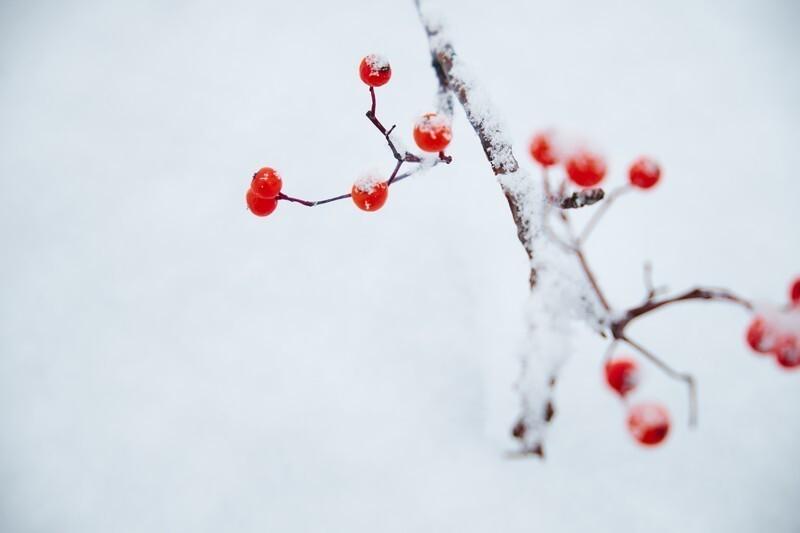 赤い実を付けた枝に雪が掛かっている