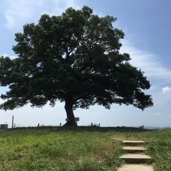 青空の下枝を伸ばし緑の葉を広げた1本の榎(えのき)の木の画像