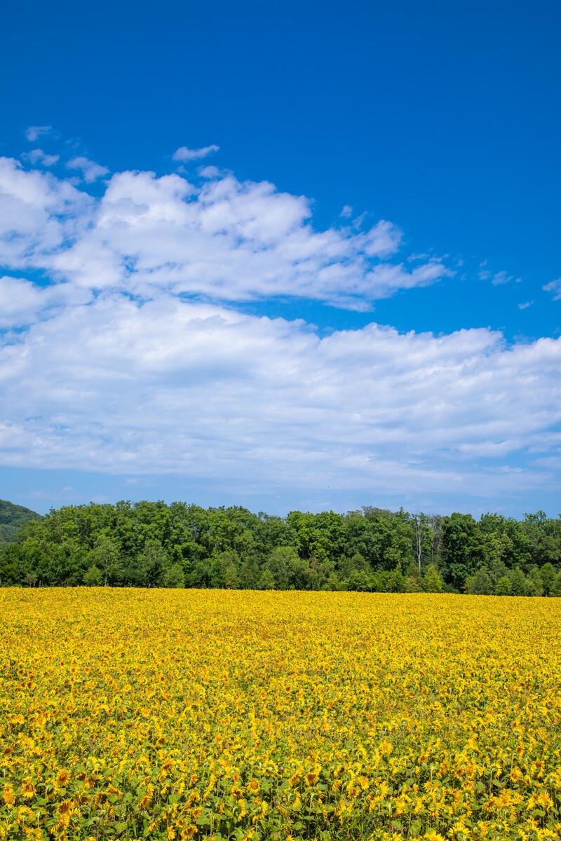 夏空の下に広がるひまわり畑