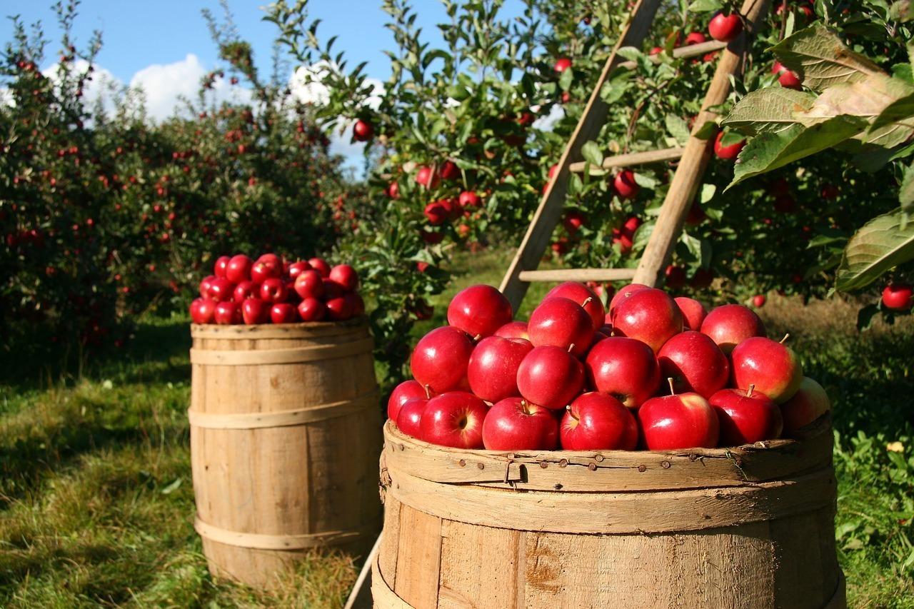 たくさんの林檎と農園