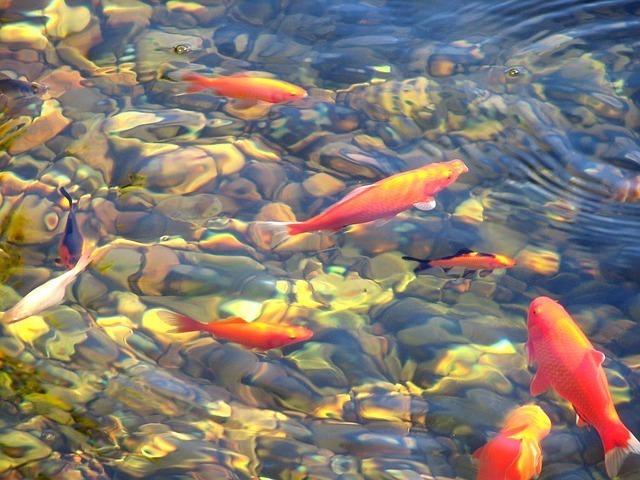 鯉が池の中を泳ぐ画像