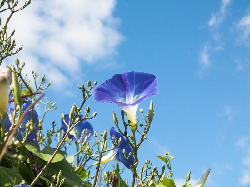 成果の空に咲く朝顔