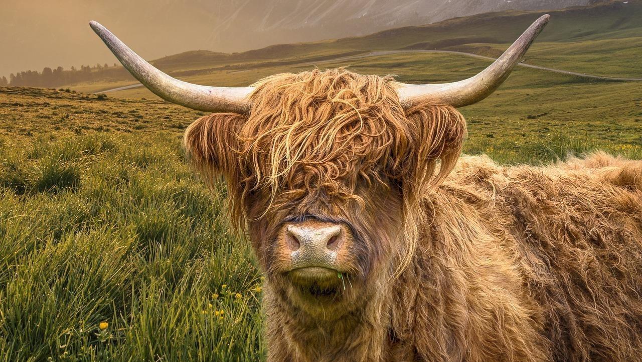 草原にいる牛