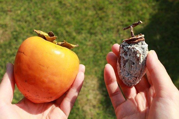 干す前と干した後の柿