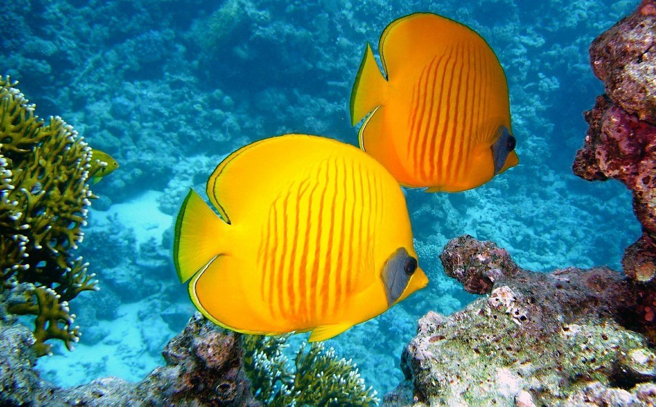 海で泳ぐ2匹の熱帯魚