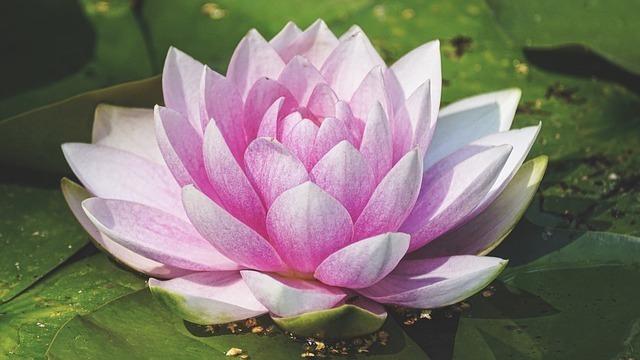 水に浮かぶ蓮の花