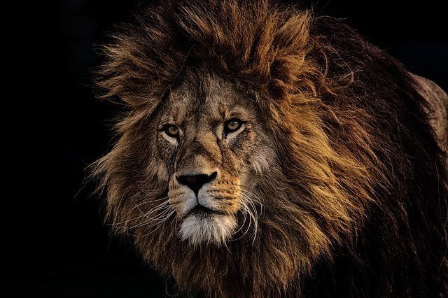 こちらを見ているライオン