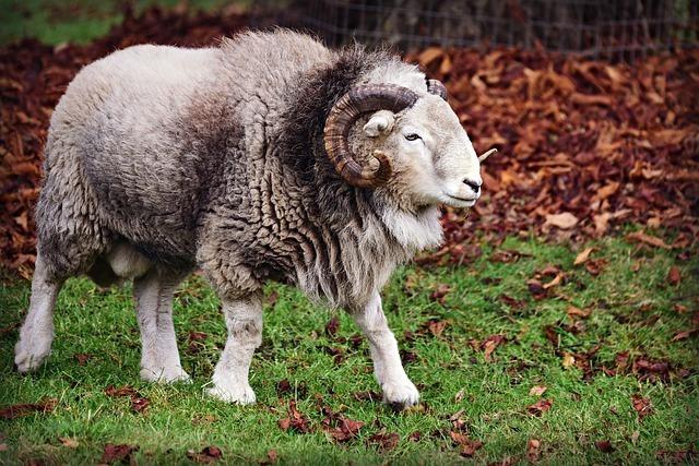 ゆったり歩く羊
