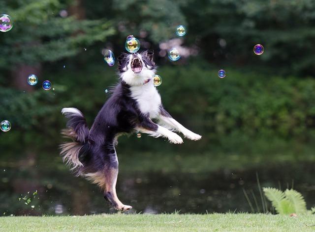 シャボン玉を必死に追いかける犬