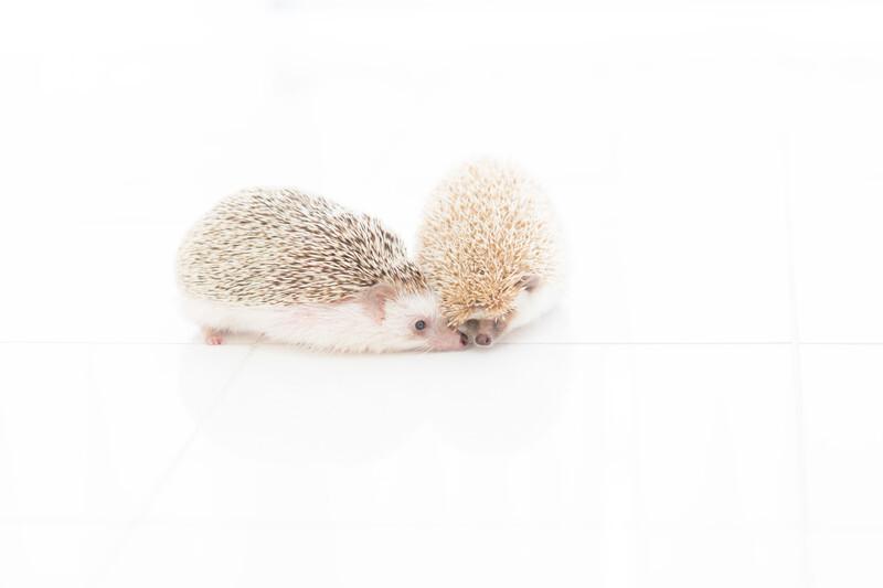 キスをするハリネズミのカップル