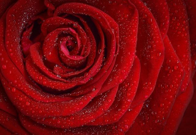 水滴が美しい真っ赤な薔薇