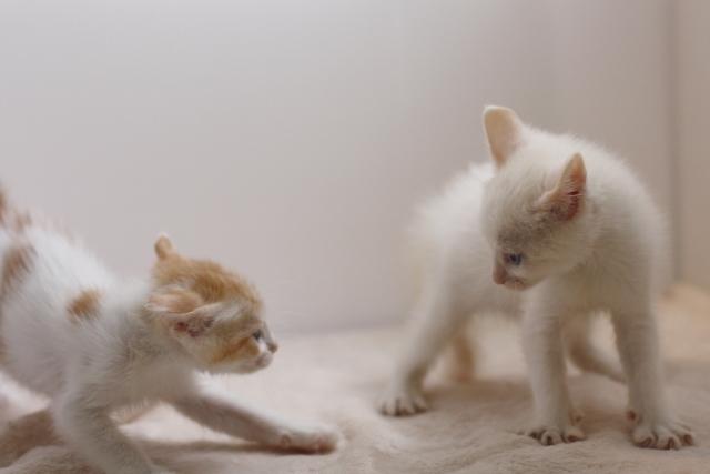 ケンカしている二匹の猫の画像