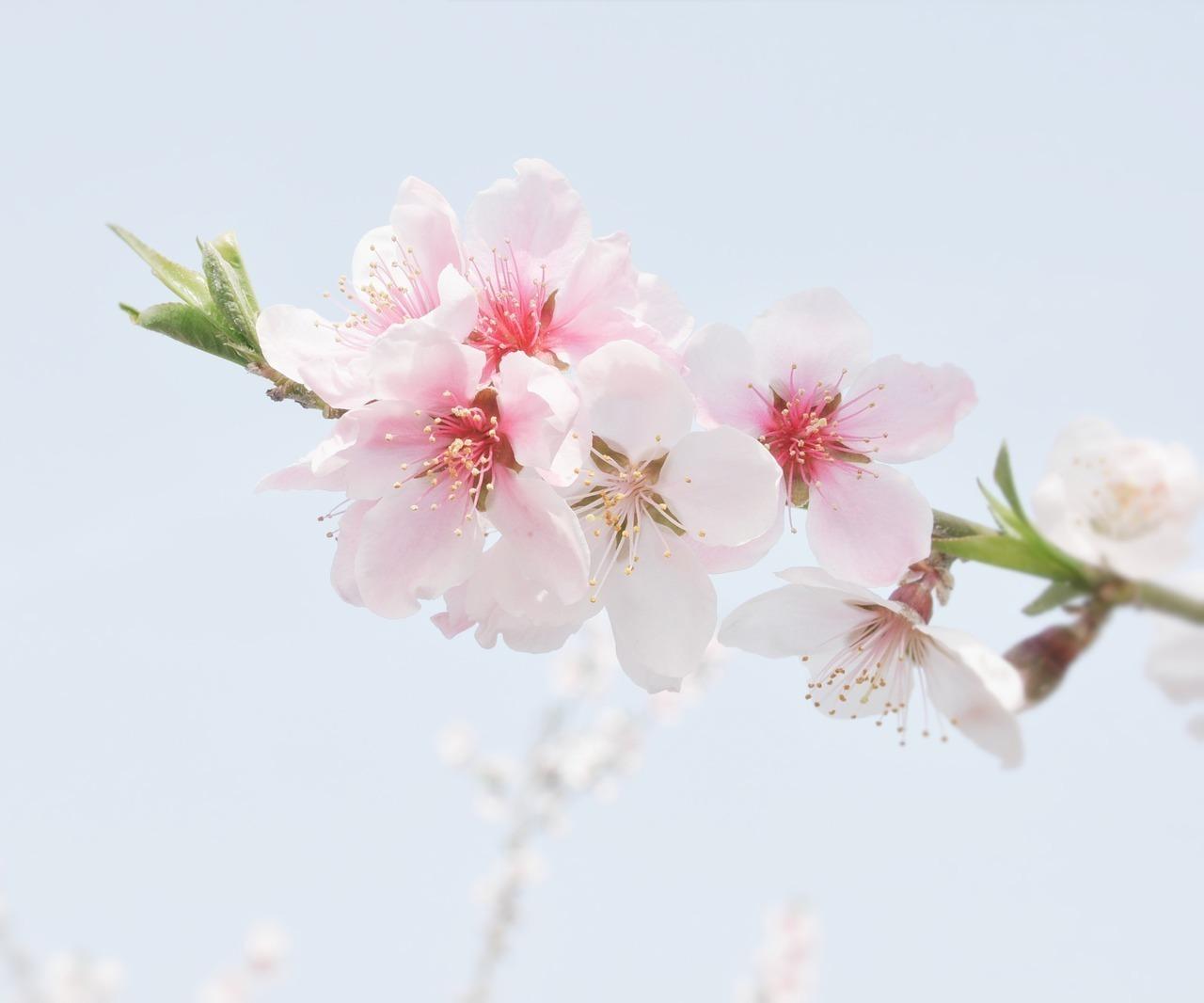 上巳の節句が「桃の節句」と言われる由来は?