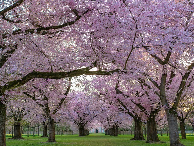 「桜」は何科の植物?