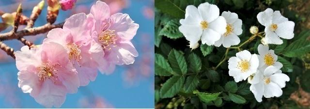 「桜」がバラ科の植物の理由とは?