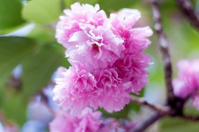 バラ科の植物の定義