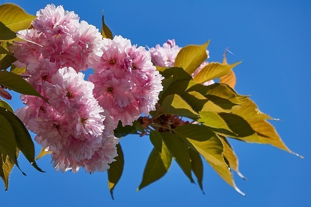 そもそも桜餅の葉っぱは食べられるの?