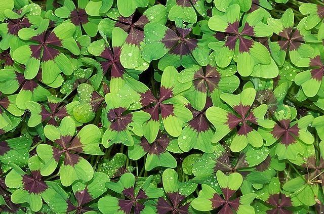 一面に咲く四葉のクローバー