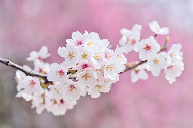 桜餅は2種類ある?