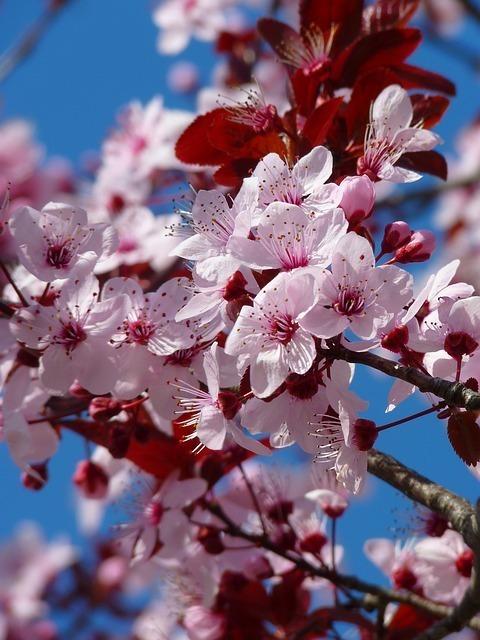 関西風の桜餅が道明寺と呼ばれる由来は?