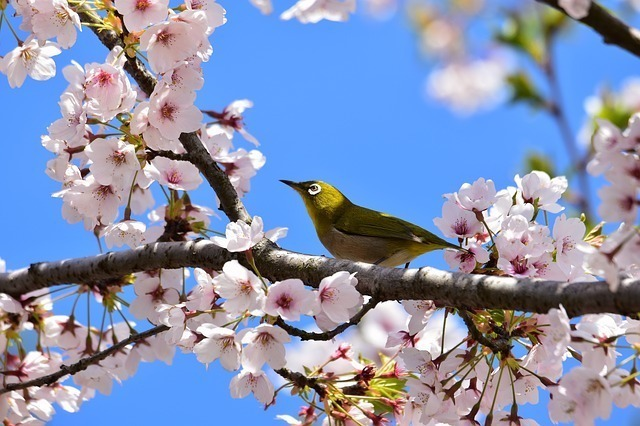 関東風の桜餅が長命寺と呼ばれる由来は?
