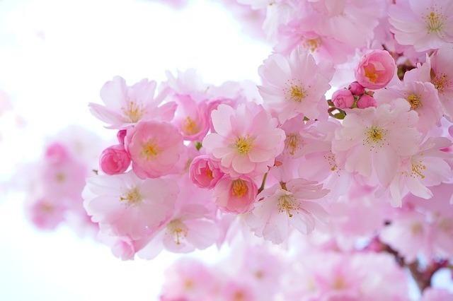 「日本といえば」で連想できる花1位:さくら