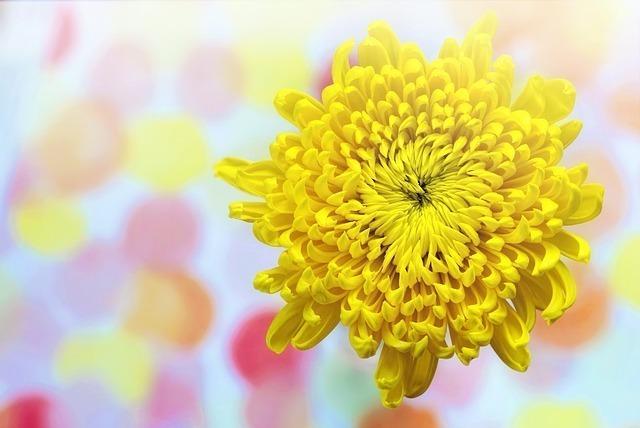 「日本といえば」で連想できる花2位:菊
